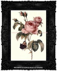 Pink Old Garden Roses Botanical Illustration Butterfly Vintage
