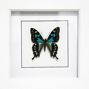 GRAPHIUM-STRESEMANNI-Framed-Butterfly-Framed-Insect-real-Butterfly-Rare