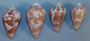Pacific Panama Non-Ironing Collectibles Conus Purpurascens 27-35mm Beautiful Specimens Secas Island
