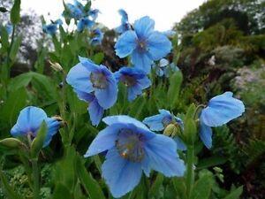 Meconopsis betonicifolia himalayan blue poppy perennial seeds ebay image is loading meconopsis betonicifolia himalayan blue poppy perennial seeds mightylinksfo
