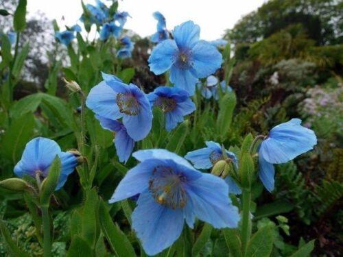 Meconopsis betonicifolia HIMALAYAN BLUE POPPY PERENNIAL Seeds!