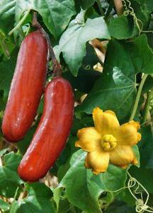 Sicana-odorifera-Sikana-Cassabanana-Musk-Cucumber-10-Samen