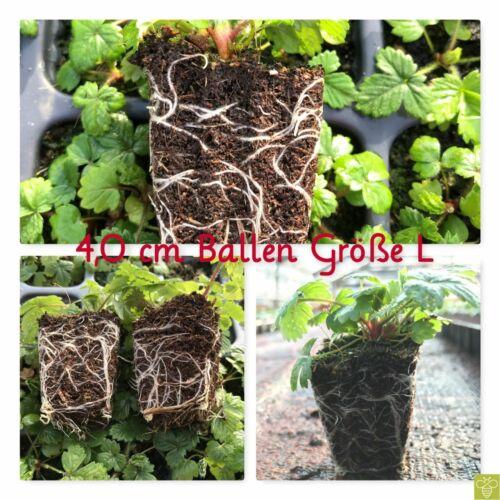 Dianthus deltoides /'Roseus/' Heide-Oeillet Rose Oeillets vivace dureté da214 15x