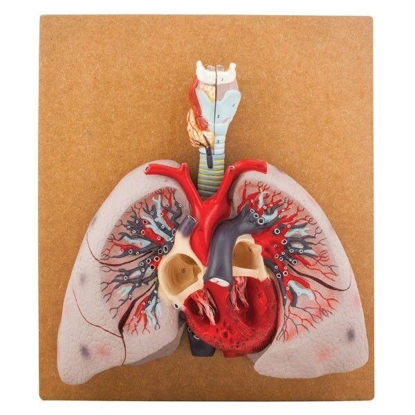 Eisco AM00710 - Human Lungs modellllerlerl - 460 x 400 x 130mm
