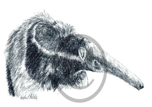 Tierzeichnungen Tiere Kleinbaer Ameisenbaer 001 Bär Zeichnung Kunstdruck
