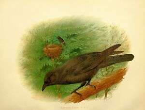1907 Antico Uccello Stampa ~ Carrion Crow