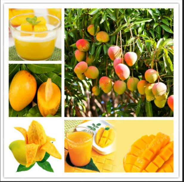 Mango Bonsai Delicious Seeds Plants Fruit Mangifera Indica Perennial 1pcs For Sale Online Ebay