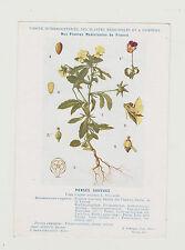 FICHE N38 PLANTE MEDICINALE/COMITE INTERMINISTERIEL-PENSEE SAUVAGE/Ed.AUZOUX