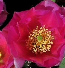 COLD HARDY OPUNTIA MINIATURE  PRICKLY PEAR CACTUS, PINK FLOWER Var FUSSEN!!!