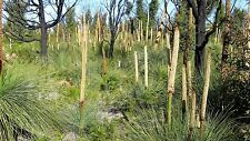 Xanthorrhoea australis - Grass Tree - 10 seeds