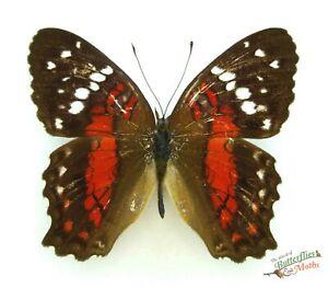 Anartia-amathea-REAL-Red-white-butterfly-SET-x1-specimen-A1-Peru-entomology
