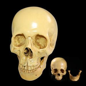 1-1-Size-Life-Human-Anatomical-Anatomy-Resin-Head-Skeleton-Skull-Teaching-Model