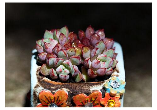 5cm Succulent live Plant Echeveria subcorymbosa 030 Crassulaceae Home Garden pot