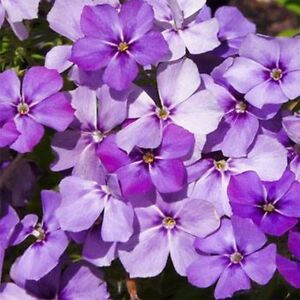 Phlox-Blue-Beauty-Drummondii-Compacta-100-Seeds-BOGO-50-off-SALE
