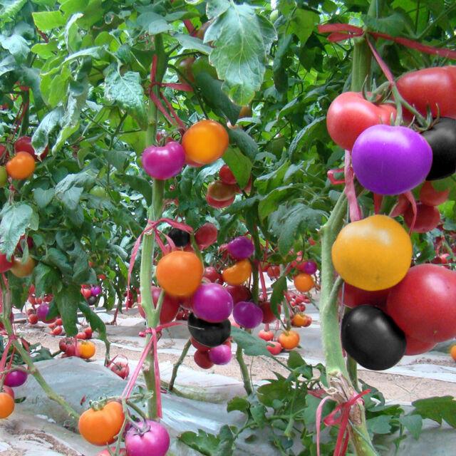 100Pcs Rainbow Tomato Seeds Bonsai Fresh Vegetables Seed Home Garden w//