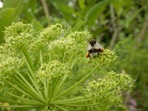 Engelwurz Angelica archangelica Heilpflanze Räucherpflanze Bauerngartenpflanze