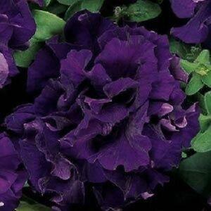 Petunia-Seeds-Double-Cascade-Blue-50-Pelleted-Petunia-Seeds