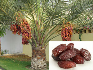 10 Date Palm Phoenix Dactylifera Fresh Exotic Palm Fruit Tree