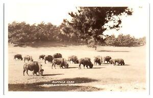 RPPC-Buffalo-Herd-Golden-Gate-Park-San-Francisco-CA-Real-Photo-Postcard