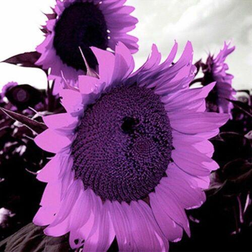 Tasche Selten Lila Riesig Sonnenblumen Samen Schöne Blumengarten Deko L 100Pcs