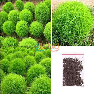 200 Seeds Kochia Scoparia Grass Plant Summer Cypress Rare Seed Rapid Grow KZUK