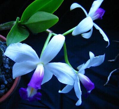 Orchidee Cattleya C.loddigesii alba  Jungpflanze Seedling Neu