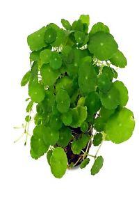 L'eau Plante Hydrocotyle Verticillata-afficher Le Titre D'origine Prix Le Moins Cher De Notre Site