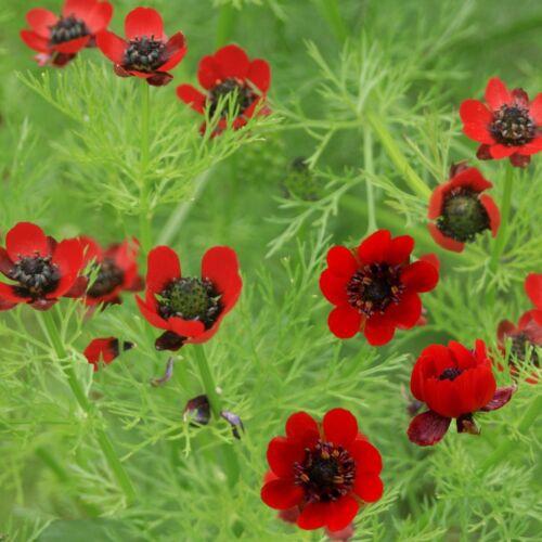appx 400 seeds Red flower Adonis aestivalis Pheasants Eye Flower