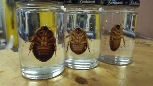 1 PRESERVED ROACH IN A JAR WET SPECIMEN ODDITIES insect bug TAXIDERMY IN GEL - Oak Lawn, Illinois, United States - 1 PRESERVED ROACH IN A JAR WET SPECIMEN ODDITIES insect bug TAXIDERMY IN GEL - Oak Lawn, Illinois, United States