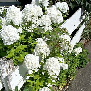 Planting guide for a white flower garden garden phlox thrives in zones 3 8 and begins blooming in july the large showy blooms make beautiful cut flowers and give off a lovely subtle scent mightylinksfo