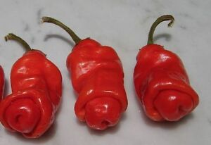 10-seeds-red-Peter-Pepper-Heirloom-Very-Hot-XXX-rare-hilarious-amp-unique-gift