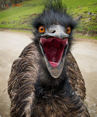 EMU FEATHERS DYED,,PLUM tail medium//long