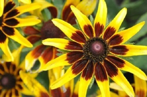 Denver Daisy Rudbeckia 30 Mehrjährig Blumen Samen