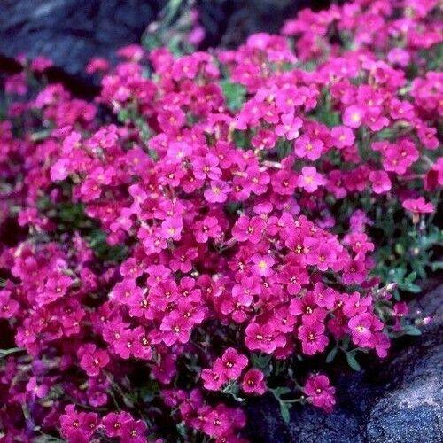 50+Seeds Rockcress Cascading Red Flower Seeds Aubrieta Hybrida