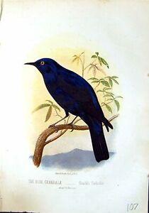 Old-Antique-Print-Brehm-Jones-C1860-Cassell-039-S-Birds-Blue-Grandala-Coeli-19th