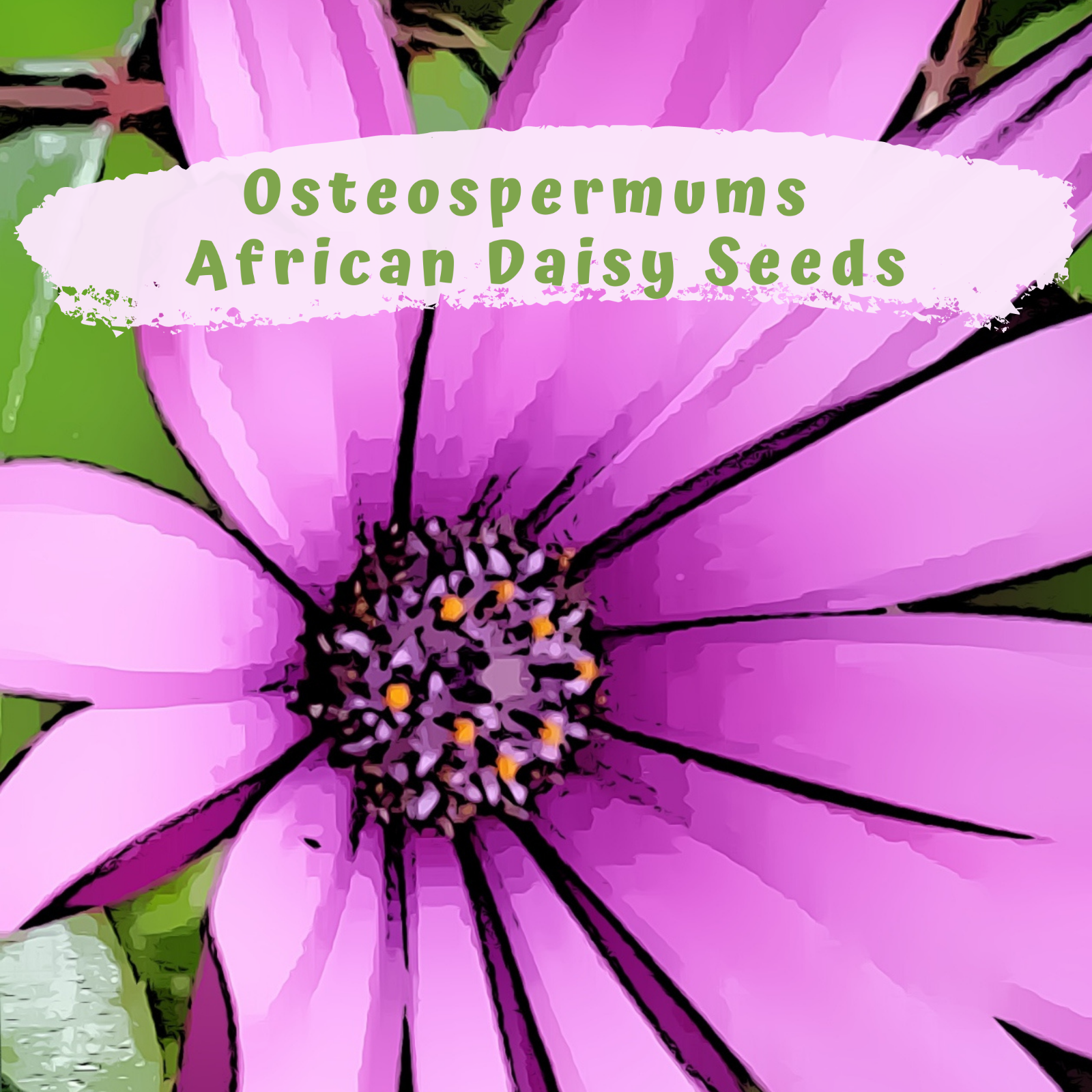 Osteospermums - Daisy Flower Seeds (40 plus seeds)