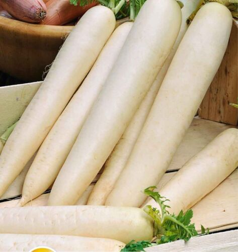 Radis semences Daikon Astor Ukraine Heirloom semences potagères Early