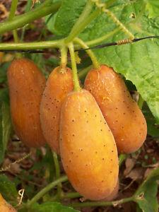 Himangi-Gurke-aus-Indien-knackige-Salat-Gurken-5-Samen