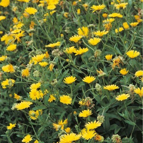 Graines Herbes-Oeillet d/'Inde pot 250 graines