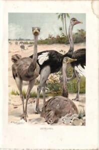THE-OSTRICH-Lithograph-VINTAGE-BIRD-PRINT-10-034-x-7-034-1885-ORNITHOLOGY