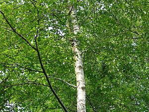 50-Silver-Birch-Native-Trees-60-90cm-Native-Betula-Pendula-2-Years-Old-2-3ft