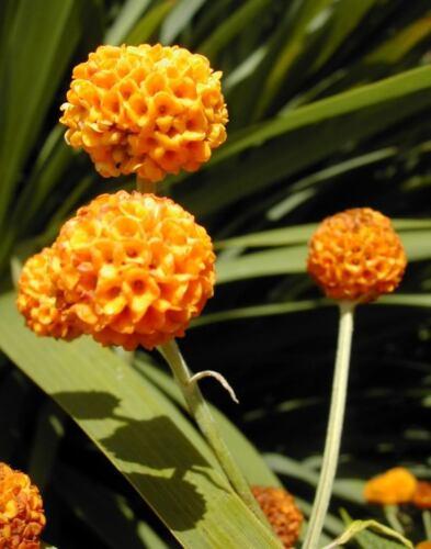 10 Orange Kugel Baum Golden Schmetterling Busch Buddleja Kugelamarant Shrub