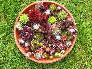 60x sempervivum rosetten hauswurz dachwurz staude pflanze. Black Bedroom Furniture Sets. Home Design Ideas