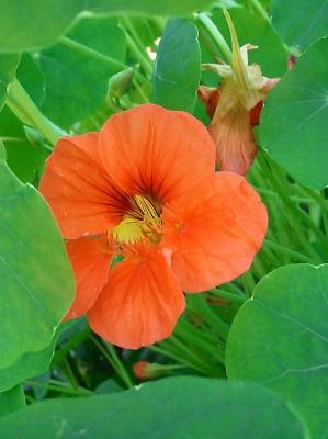 20//40 Graines Fleurs Capucine Naine Saumon Rose Tropaeolum Nanum