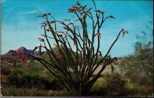 10hj-Postcard-Ocotilla