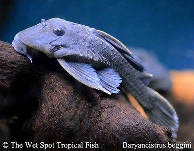 "(1) 3""+ Blue Fin Panaque WILD Baryancistrus beggini L239 Live fresh tropical"