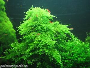 image is loading 5g christmas moss 4x3cm aquarium fish carpet plant - Christmas Moss
