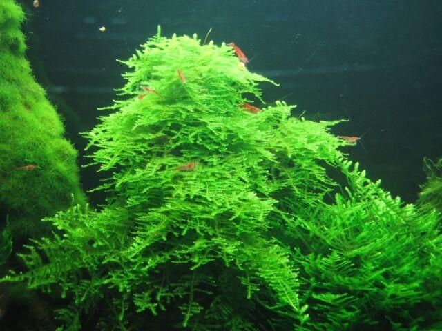 Christmas Moss Carpet.5g Christmas Moss 4x3cm Aquarium Fish Carpet Plant Mesh Bogwood Java Nano Biorb