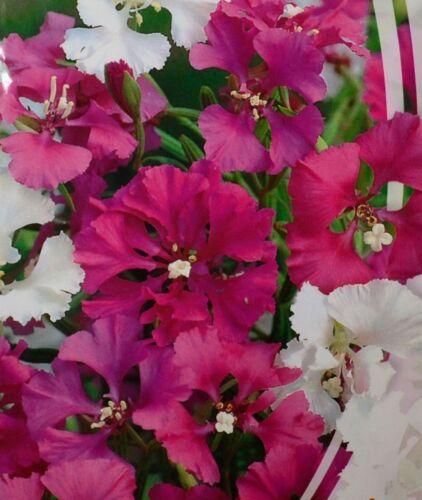 Clarkia pulchella Beautiful Flower Seeds from Ukraine