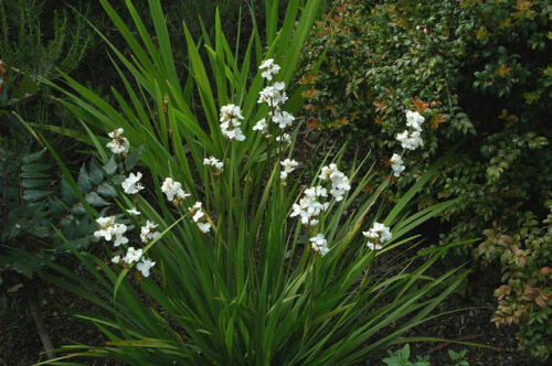 Libertia grandiflora Hardy Evergreen coastal ground cover low maintenance plant
